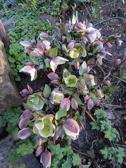 a handsome hellebore