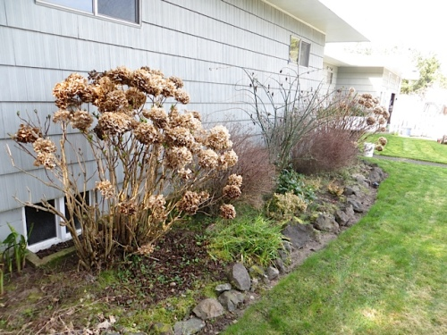 I tackled the hydrangeas on the east wall of the house.