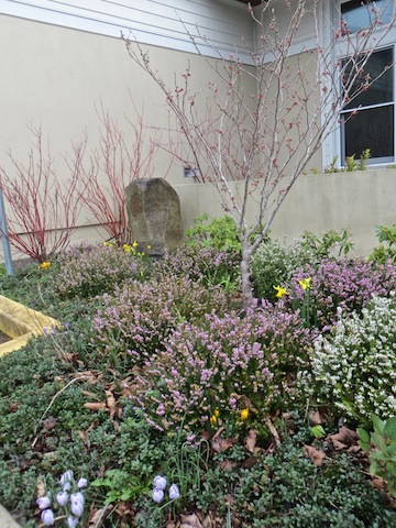 the garden outside the community building where the library is houses: Hamamelis, red twig dogwood, heather
