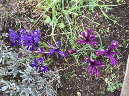 and more Iris reticulata