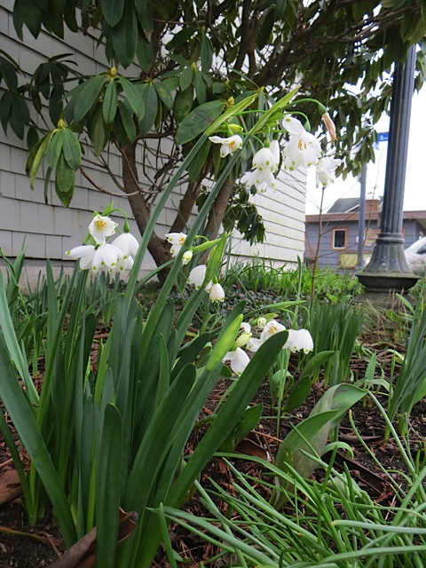 north side city hall: Leucojum aestivum 'Gravetye Giant' is blooming mighty early