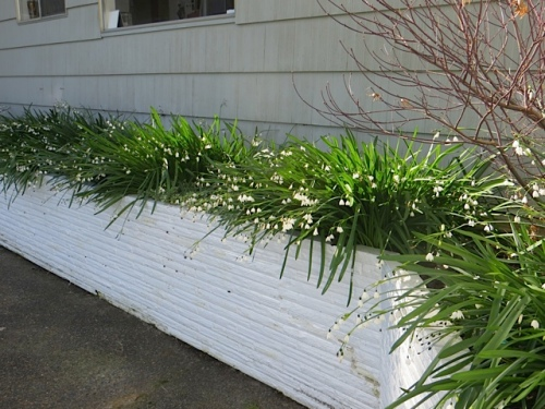 leucojum blooming in the east wall planter