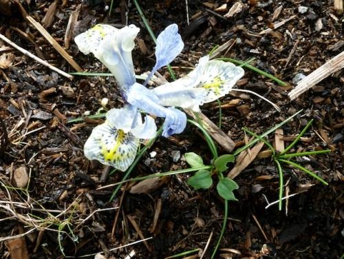 The stunning little Iris 'Katharine Hodgekin', my favourite of all the little ones I've seen.