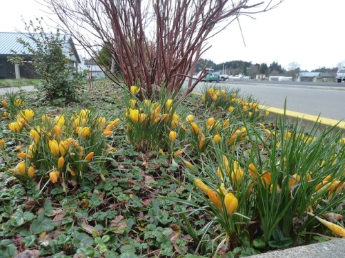 A good display of yellow crocus at the base of redtwig dogwood, Shorebank