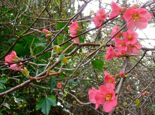 Chaenomeles (quince) flowers