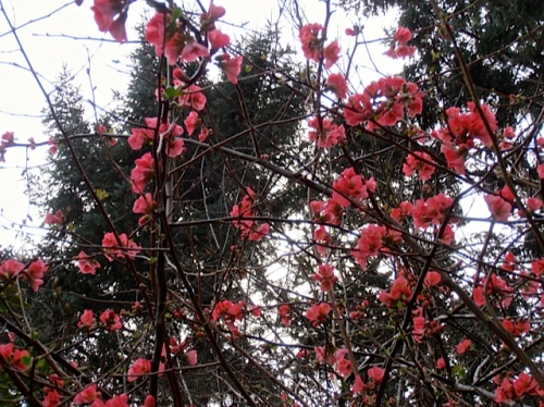 flowering quince in the outer gardens