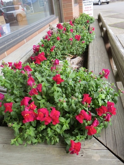 snapdragons blooming in February in Pacific Realty's big south-facing windowbox