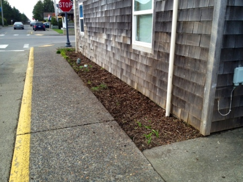 after, rugosa roses cut to the ground so they will (mostly) not hang over the sidewalk this year
