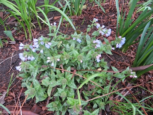 city hall pulmonaria in bloom