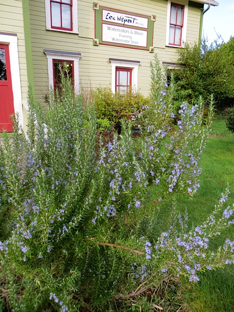 rosemary blooming by the gallery's front door