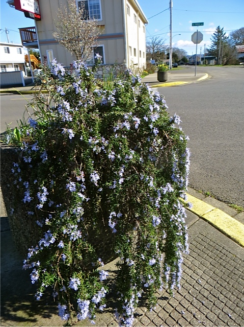 trailing rosemary, as I look east down Main Street
