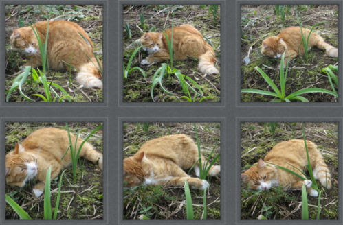 Skooter was very taken with the Nepeta 'Walker's Low' (catmint).