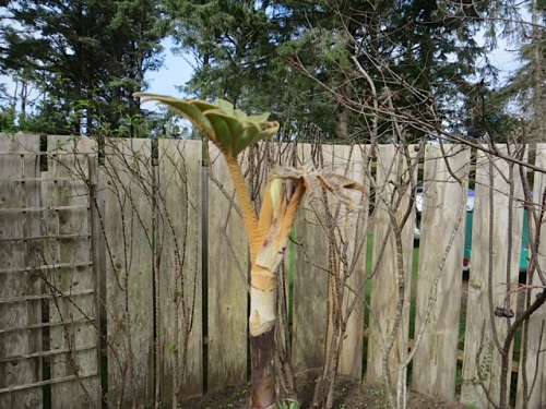In the garden, Tetrapanax papyrifer 'Steroidal Giant' already leafing out.