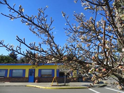 Ornamental pear street tree in bloom