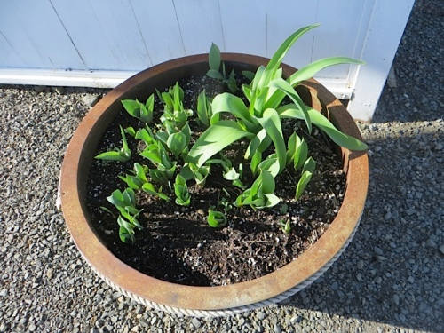 tulip and allium foliage in pots by the office