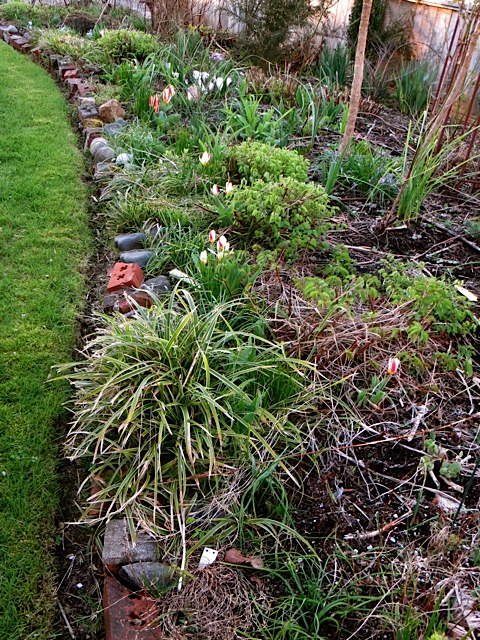 a line of early species tulips coming up in the front garden