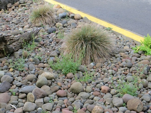 I see weeds and tatty grasses in the river rock bed by the old Harbor Lights Motel!