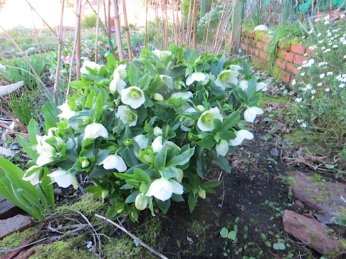 such a refreshing white hellebore in the front garden