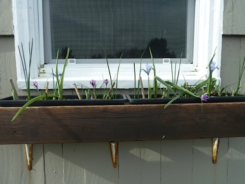 I was pleased with the bulb action in the four windowboxes.