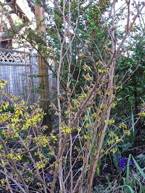 Hamamelis mollis in front garden, smells like apricots