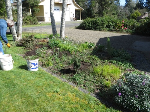 Before: I found a massive influx of bad aster in one of Marilyn's garden beds...From where???