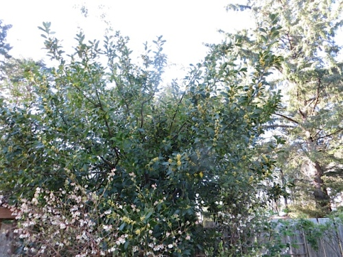 The bay tree was blooming above blueberry bushes in bloom at KBC.