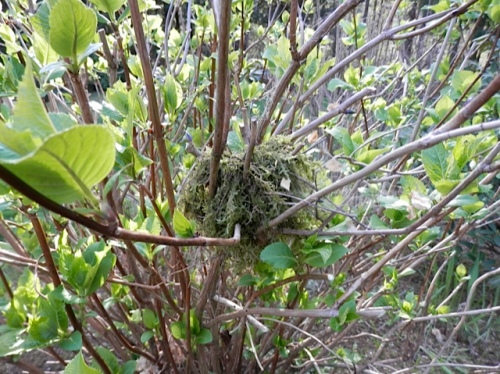 bird nest in the lawn island hydrangea