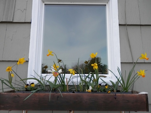 and planted two in each of the four window boxes