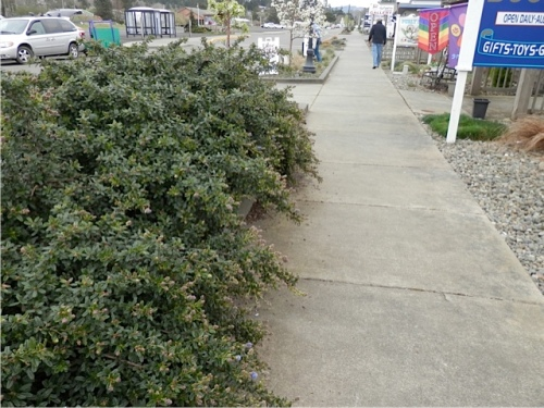 The ceanothus hanging over the sidewalk is about to bloom, so I don't want to prune it now.