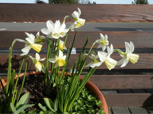 'Sailboat' Narcissi in the center courtyard