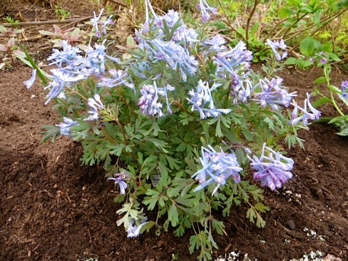 I hope this Corydalis comes back for me year after year.