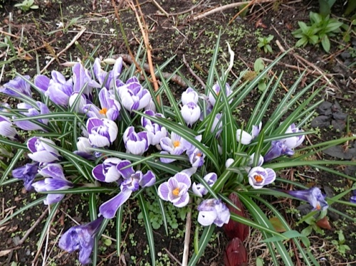 crocuses and lily shoots