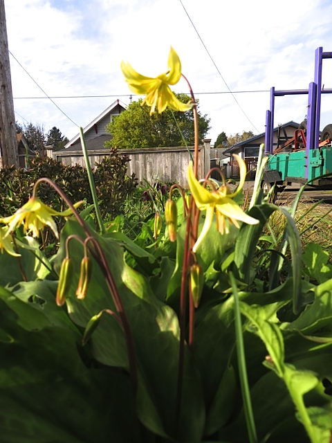 admiring a dog tooth violet by our driveway