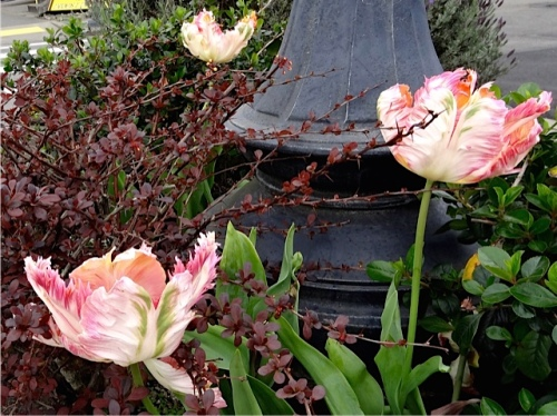 parrot tulips in a planter, Allan's photo