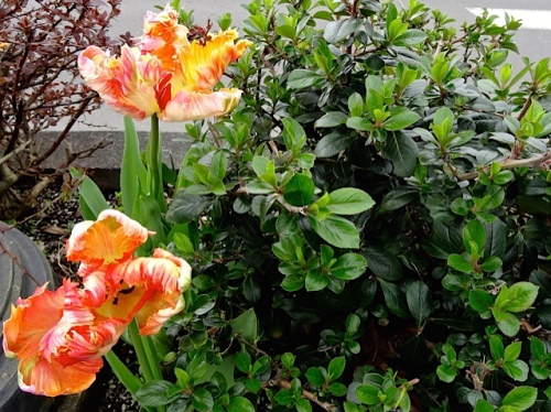 Allan's photo; tulips that usually bloom in early May.