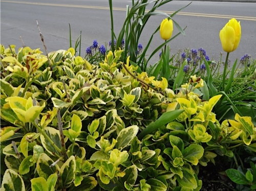 variegated leaves and yellow tulips and blue grape hyacinths, Allan's photo