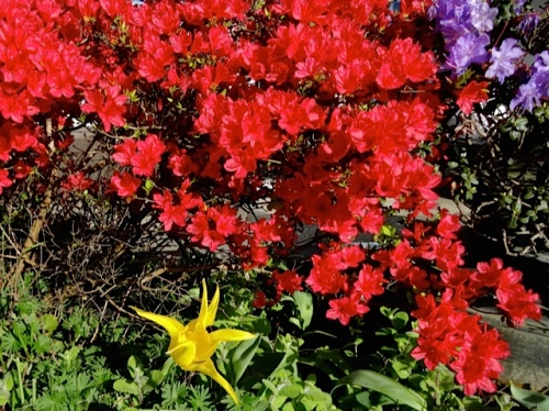 Allan's photo: The one planter that is full of red azaleas is dull the rest of the year.