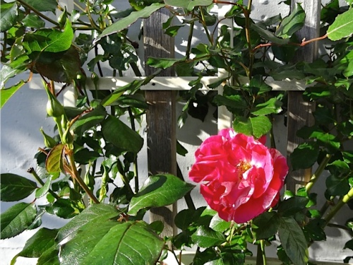Berries and Cream rose in bloom by Funland (Allan's photo)