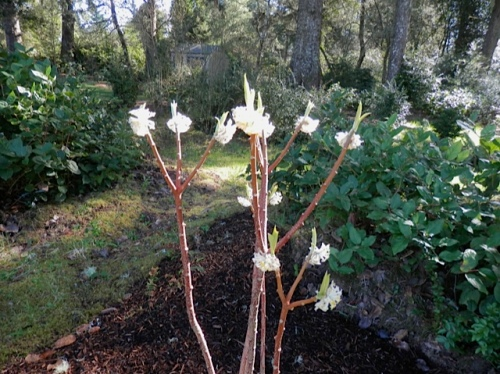 an edgeworthia that aroused envy because mine died...
