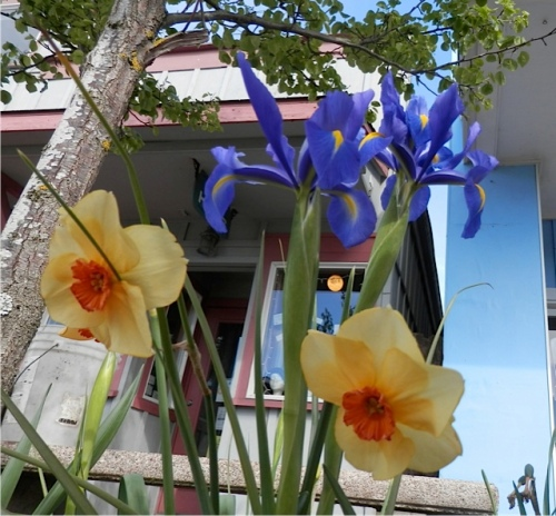 tree garden by the Mostly Hats shop with Dutch iris and narcissi