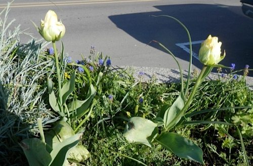 Tulip 'Formosa' usually blooms well into early May!  (Someone picked one of these three, dang blang it.)