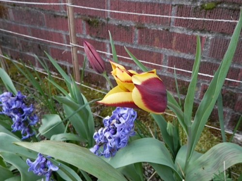Gavota tulip looks great with brick.  This one returned from a planting about three years old.