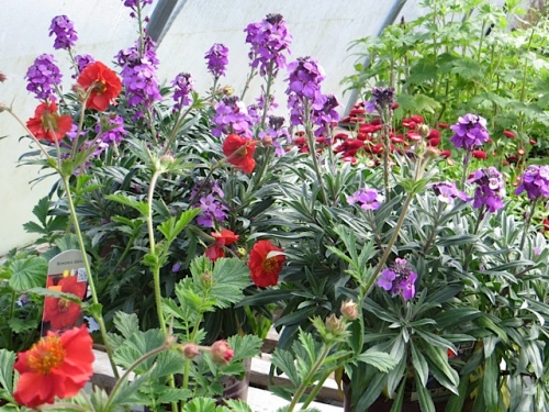 red Geum and Erysimum 'Bowles Mauve'