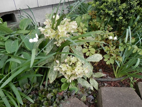 Hellebore flowers turning pinkish with age.