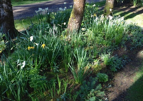 Allan's photo: rag tag narcissi deadheads (before)
