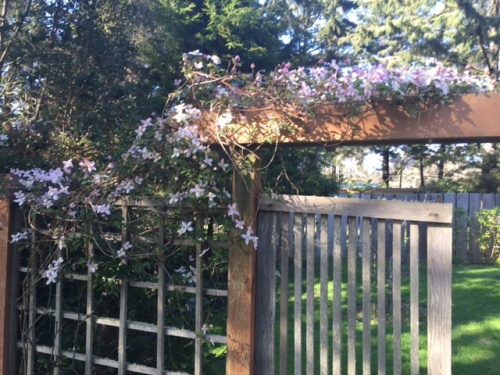 Clematis on a deer fence gate