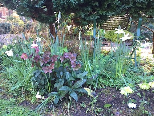 hellebores in the lawn border