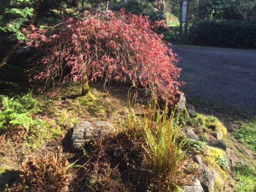 Japanese maple and deer fern by the pond