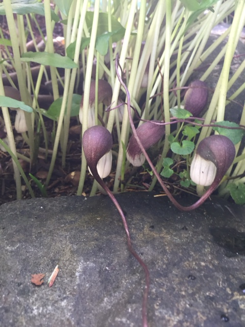The adorableness of Arisarum proboscideum (mouseplant)