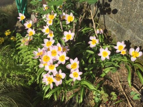 driveway garden, Tulip 'Lilac Wonder'